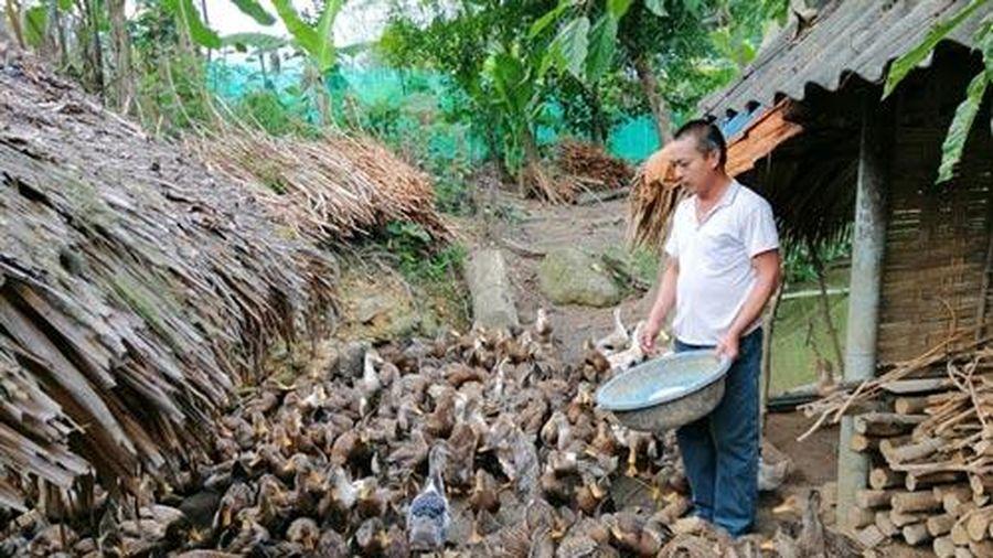 Yên Bái: Làm giàu từ mô hình nuôi vịt bầu Lâm Thượng