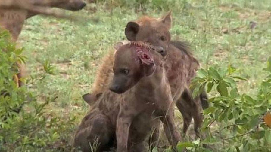 Xót xa linh cẩu bị chính đồng loại quây giết