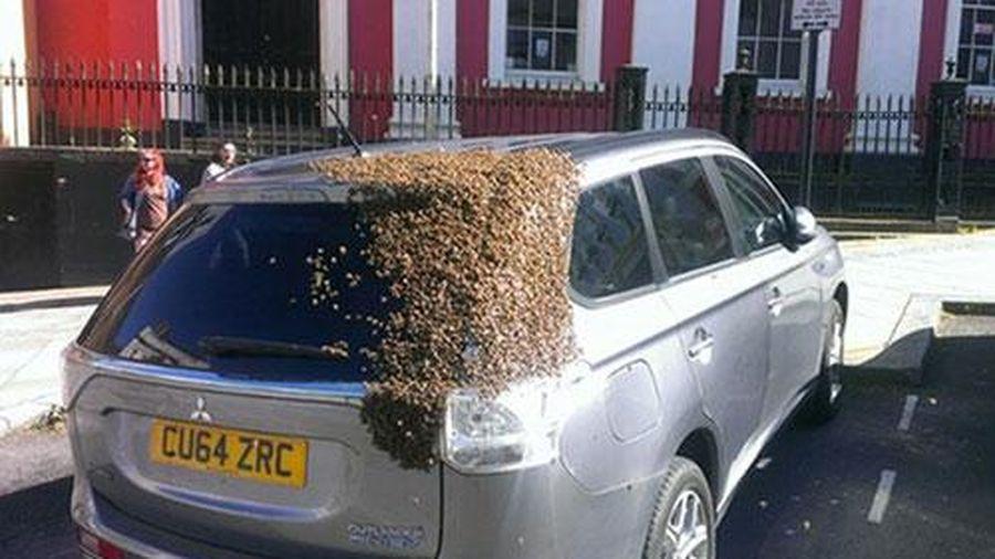 Đàn ong đuổi theo xe hơi 2 ngày để cứu ong chúa