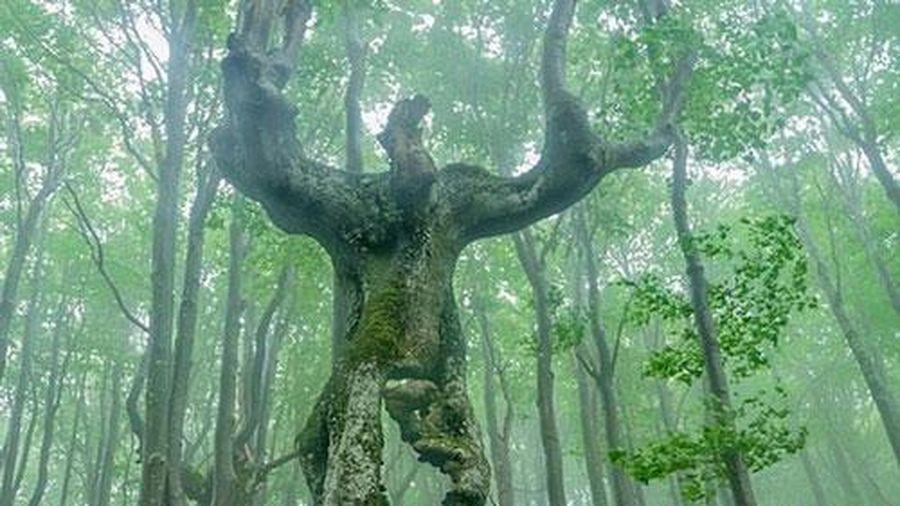 Kỳ lạ cây sồi có hình dáng như người ở Bulgaria