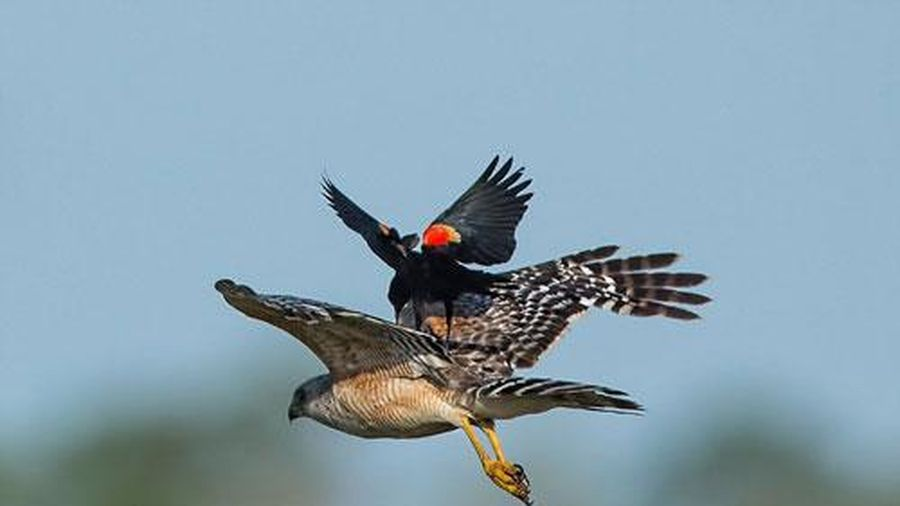 Độc lạ chim két cánh đỏ cưỡi diều hâu bay liệng