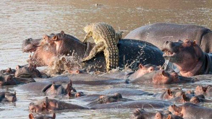 Ảnh động vật: Rợn người rắn cạp nong quyết chiến