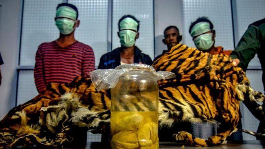 Indonesia bắt giữ 5 người tàng trữ bào thai hổ