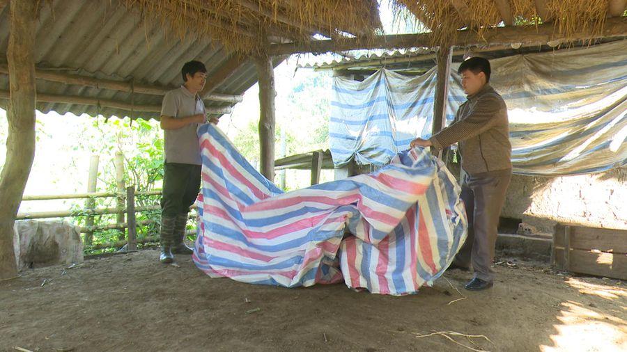 Tuyên Quang: Na Hang phòng chống đói, rét cho đàn gia súc