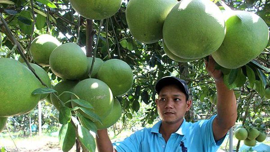 Trái cây Tết lo mất mùa, mất giá
