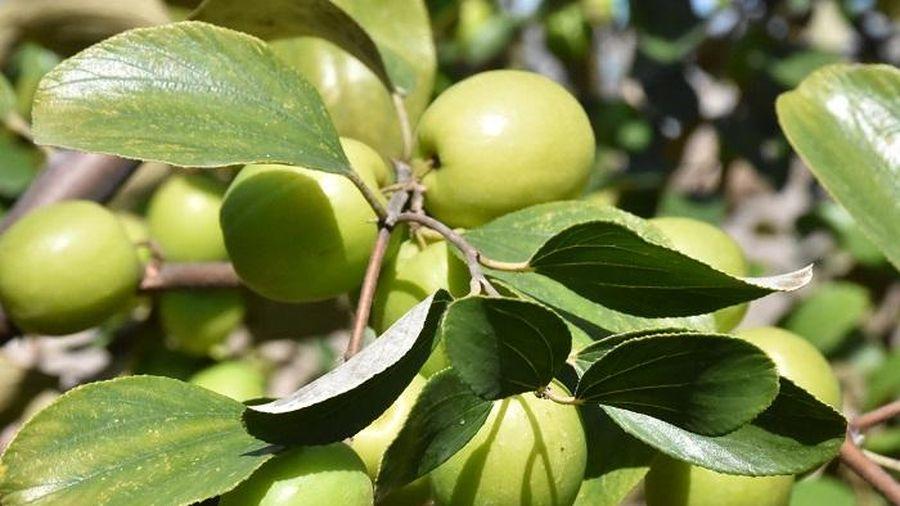 Vườn 'táo muối' hốt bạc trăm triệu của người dân Hải Phòng