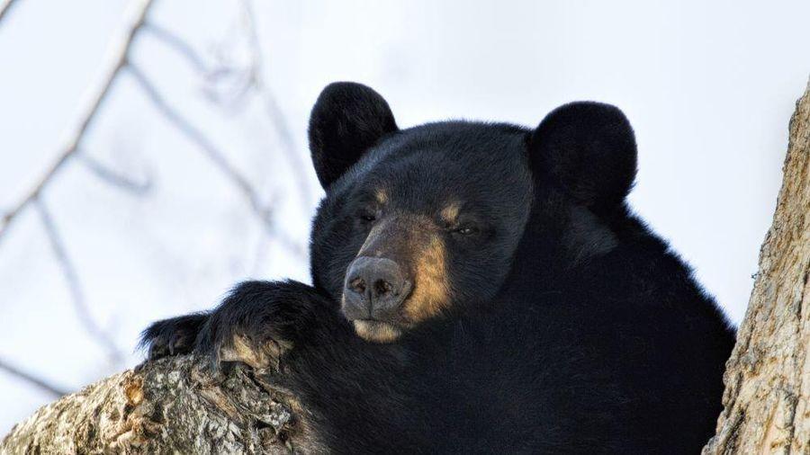 Bệnh nhân sơ tán, 'nhường chỗ' cho gấu hoang ngủ đông trong bệnh viện