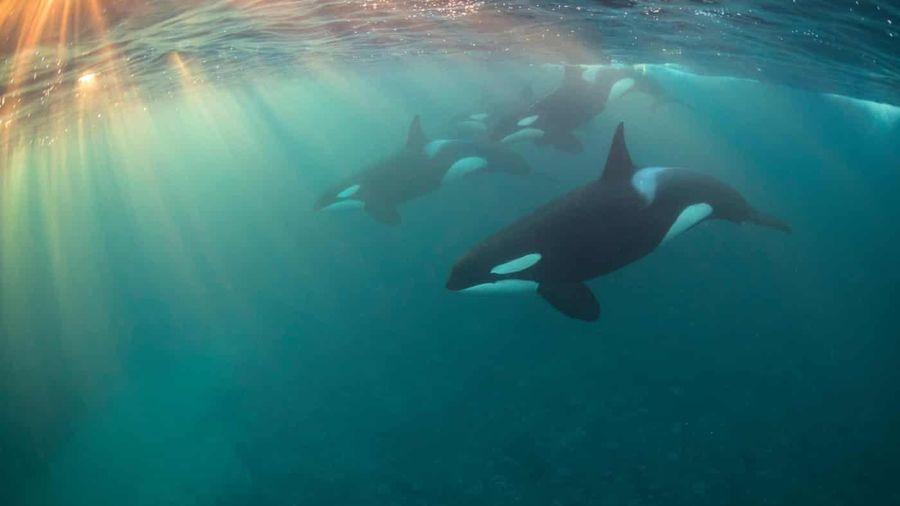 'Hiệu ứng bà ngoại' ở cá voi sát thủ