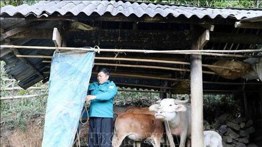 Lào Cai: Hơn 2 vạn gia súc có nguy cơ bị đói, rét do thời tiết lạnh