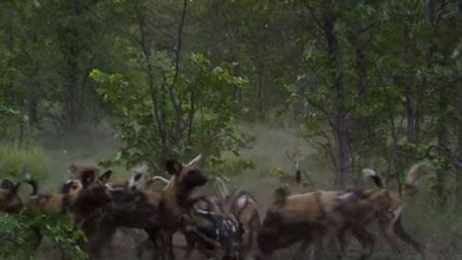 CLIP: Đàn linh dương đầu bò trong vòng vây chó hoang và cái kết bất ngờ