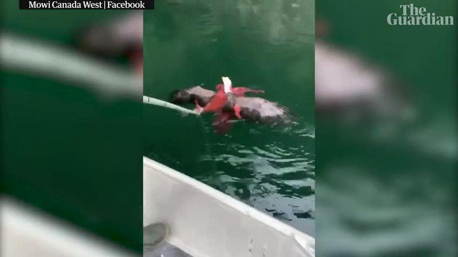 Lao xuống nước tóm bạch tuộc bất thành, đại bàng suýt bị dìm chết