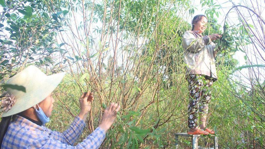 Thời tiết nắng ấm, người trồng đào Nghệ An lo thất thu