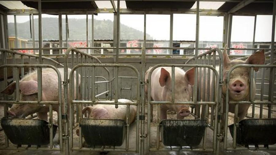 Dịch tả lợn lan nhanh tại Indonesia, ảnh hưởng hàng nghìn con gia súc