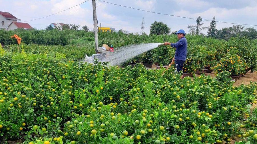 Quảng Nam: Người trồng quất tất bật vào vụ Tết Nguyên đán