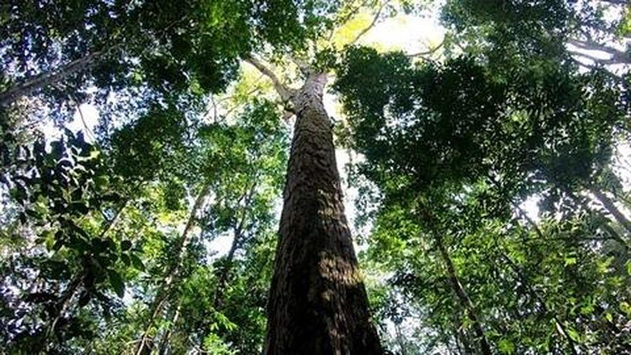 Phát hiện cây cao nhất rừng Amazon: Những bí mật