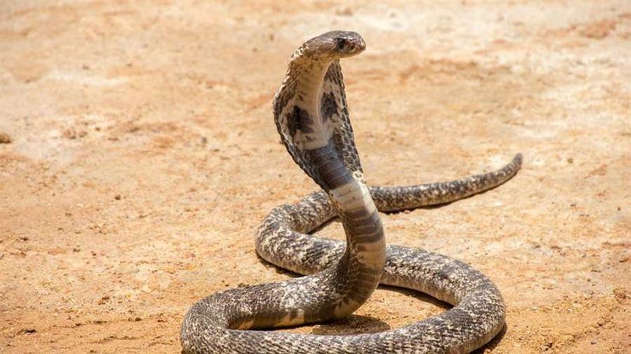Mở cửa nhà vệ sinh, 'điếng người' 18 con rắn hổ mang nhìn trừng trừng