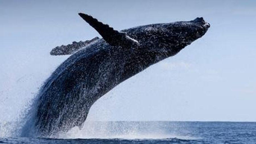 Một con cá voi bằng cả khu rừng trong cuộc chiến khí hậu