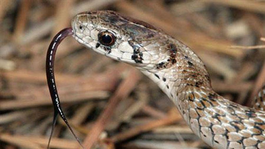 Lưỡi rắn 'thụt thò' có tác dụng gì?