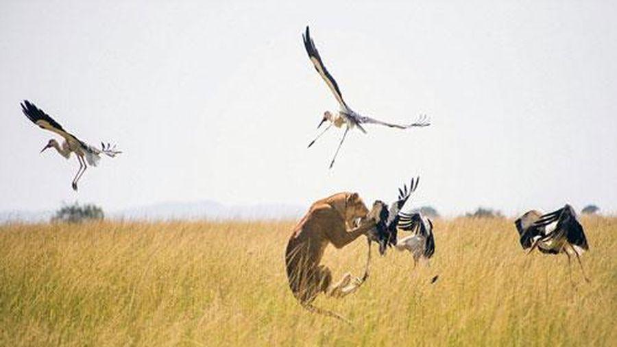 Sư tử tung tuyệt kỹ phi thân bắt chim hạc trên không