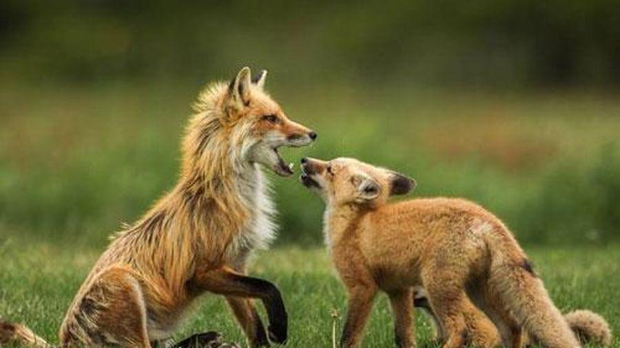 Ngưỡng mộ cáo đỏ đực một mình nuôi đàn con khôn lớn