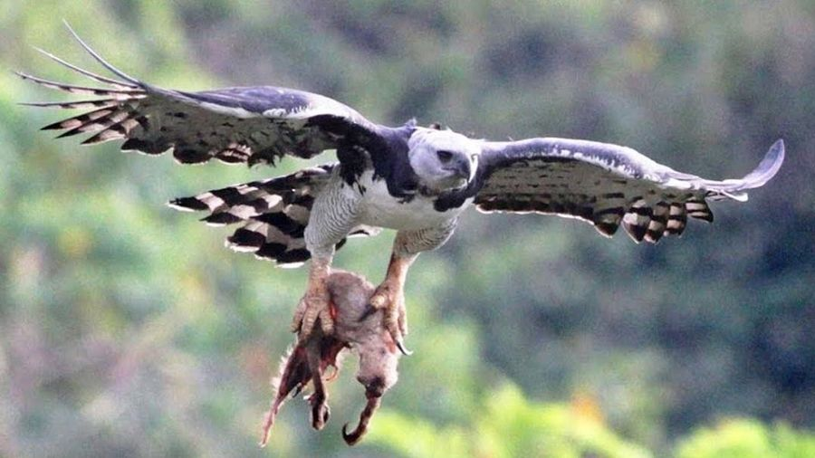 Cách tấn công con mồi của đại bàng mạnh nhất thế giới