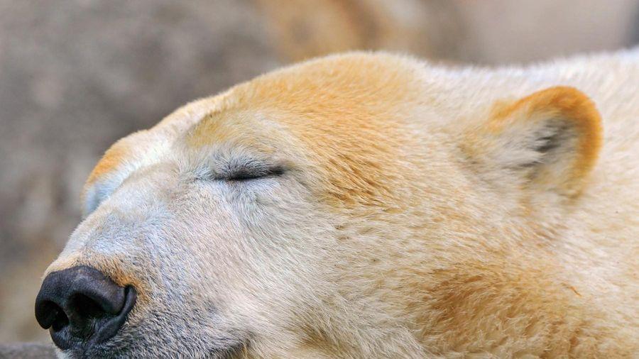 Giải mã hiện tượng ngủ đông ở động vật