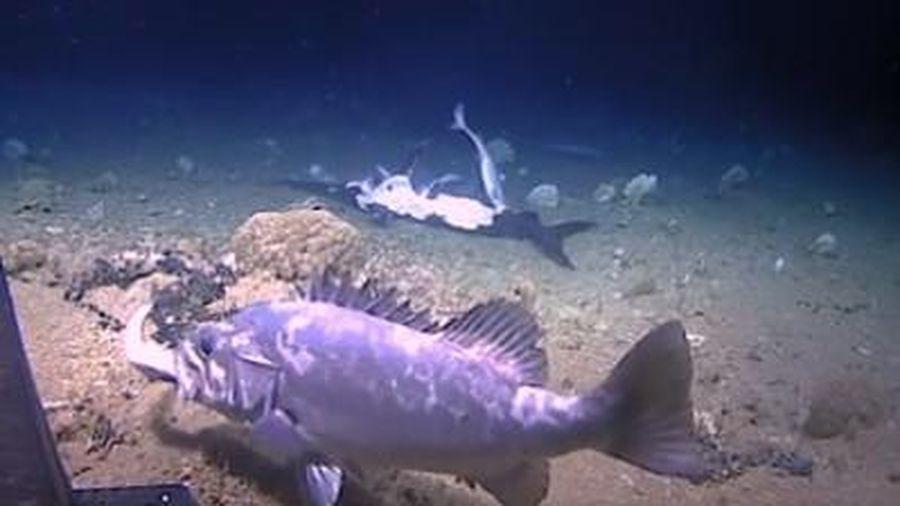 Khoảnh khắc cá mập bị cá vược phục kích, nuốt chửng