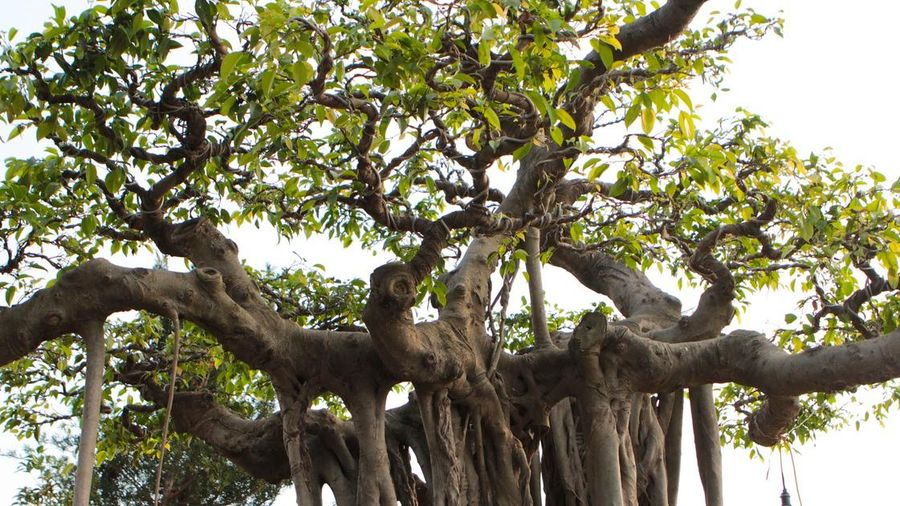 Cận cảnh cây Sanh lá móng có giá 2,5 tỷ đồng ở Hà Nội