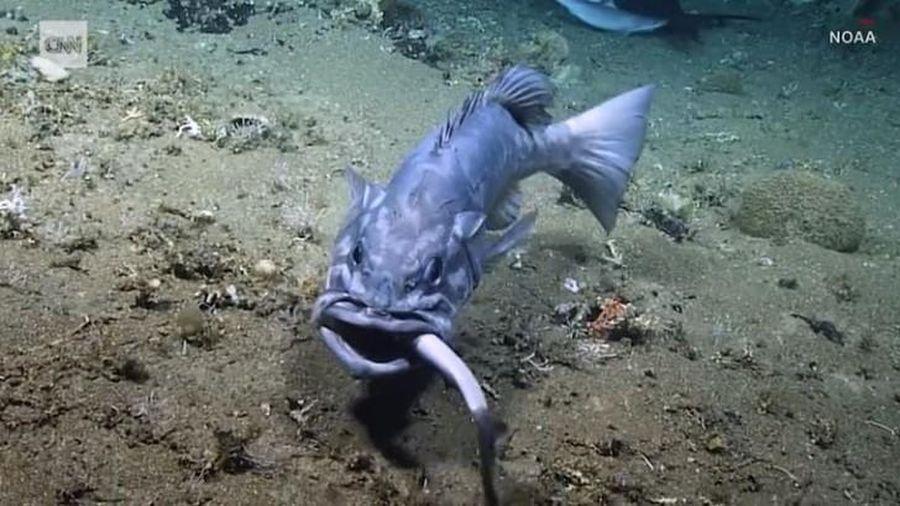 Đang xâu xé con mồi, cá mập bất ngờ bị kẻ thù nuốt chửng