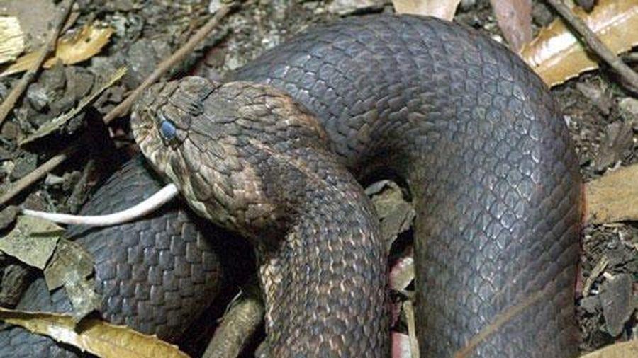 Loài rắn kịch độc chỉ nằm nhử con mồi cực kỳ 'quái dị'