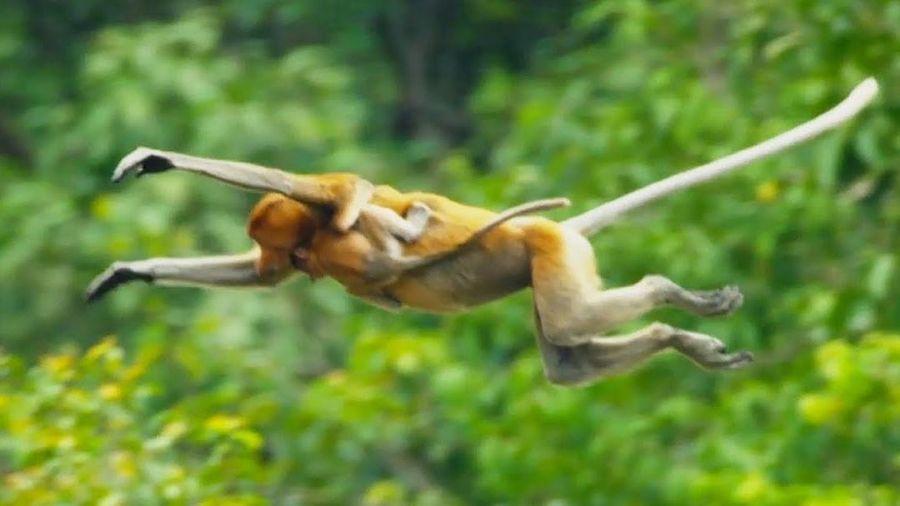 Đàn khỉ nhảy xuống dòng sông đầy cá sấu