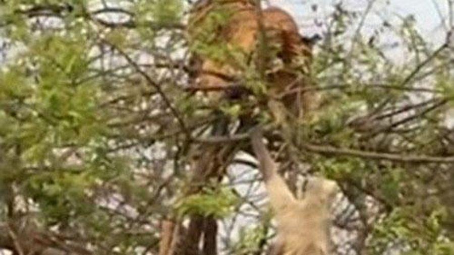 Hổ bị khỉ lừa ngã 'chổng vó' một cách đau đớn