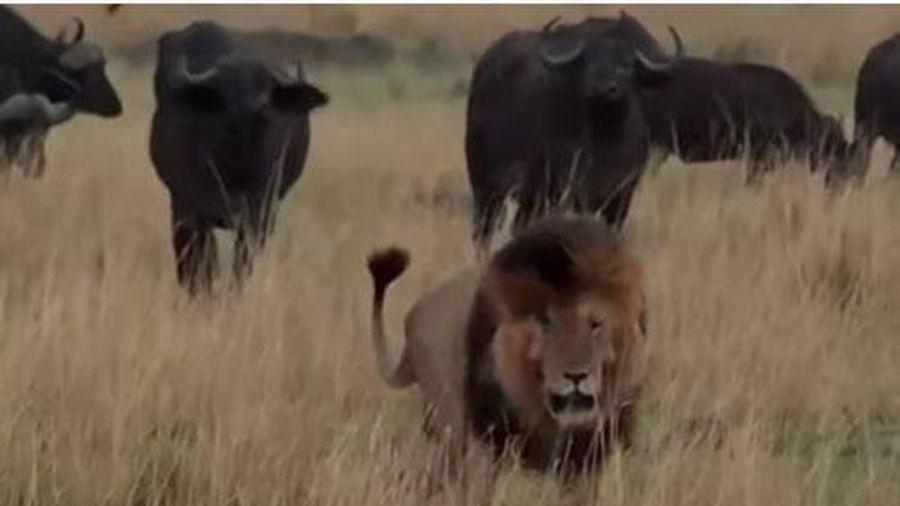 CLIP: Sư tử đực 'lủi thủi' bỏ chạy khi bị trâu rừng 'cà khịa'