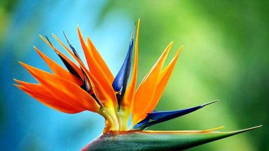 Cảnh giác với những loài hoa đẹp ngày Tết nhưng có độc