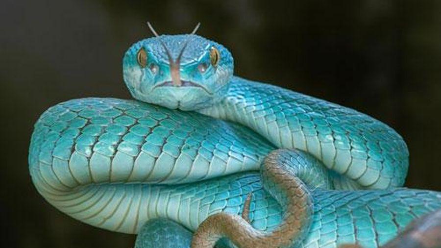 Cận cảnh vẻ đẹp gợi cảm chết người của loài rắn độc