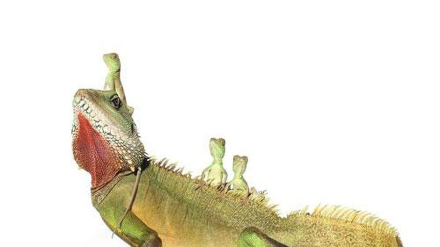 Những bức ảnh ngộ nghĩnh về loài 'rồng đất'
