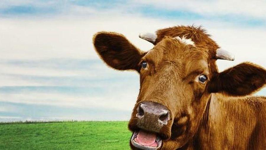 Người chuyên tâm dịch tiếng... bò