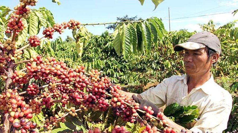 Tây Nguyên cải tạo diện tích cà-phê