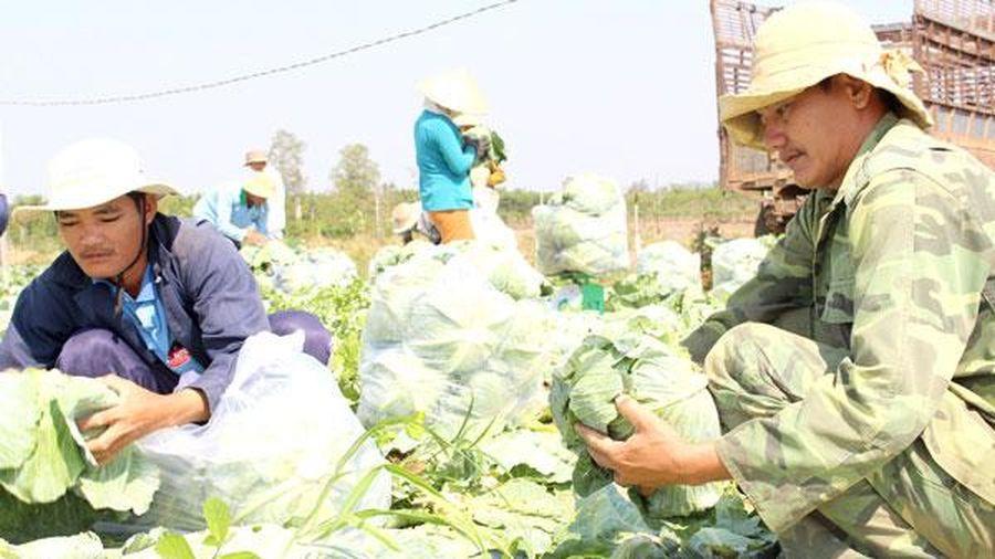 Huyện Cẩm Mỹ: Hướng đến sản xuất và tiêu thụ rau sạch