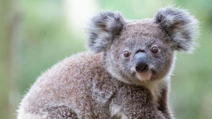 Vì sao coi Koala là con vật vô cùng lười biếng?