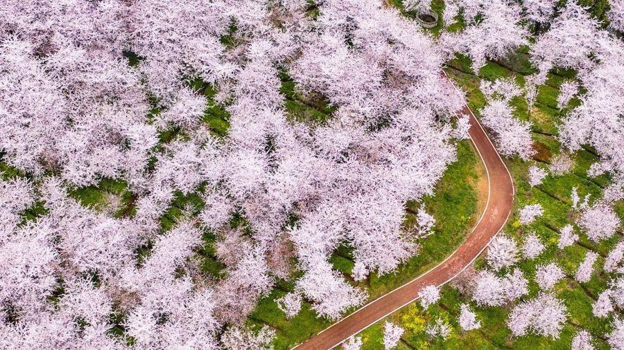 Hoa anh đào bung nở khắp nơi trên thế giới