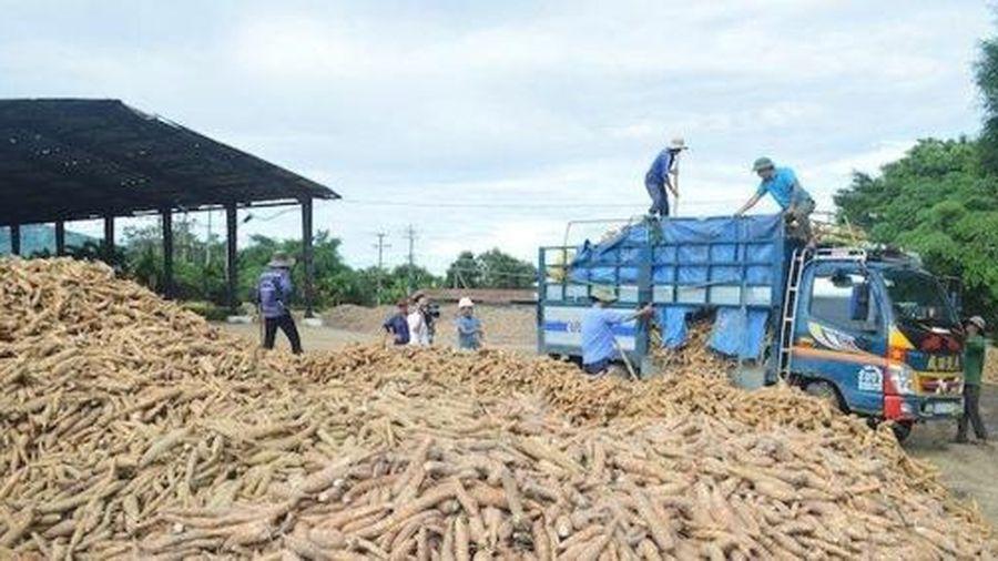 Phú Yên: Tồn 17 nghìn tấn tinh bột sắn thành phẩm