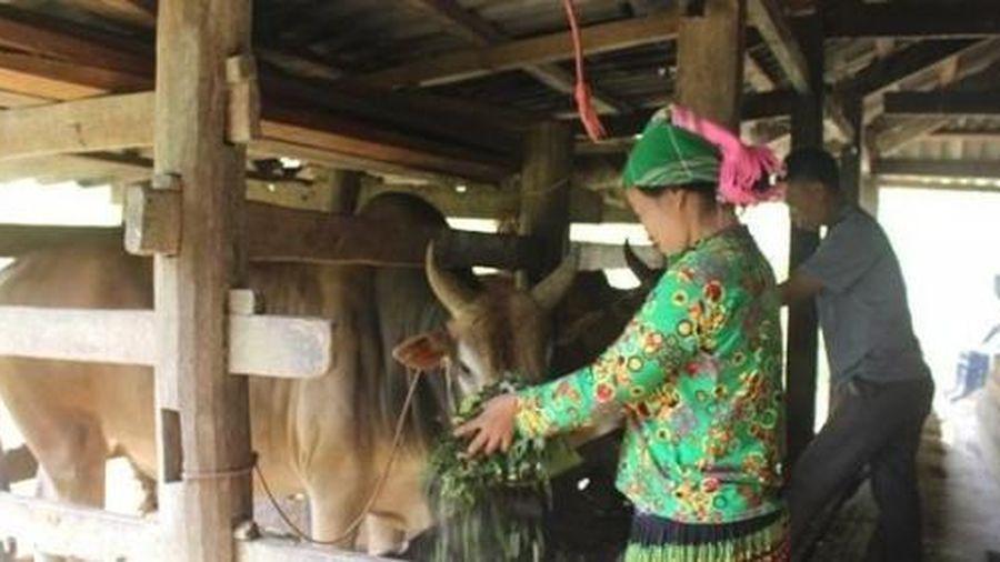 Người Mông ở Bảo Lâm làm giàu từ nuôi bò
