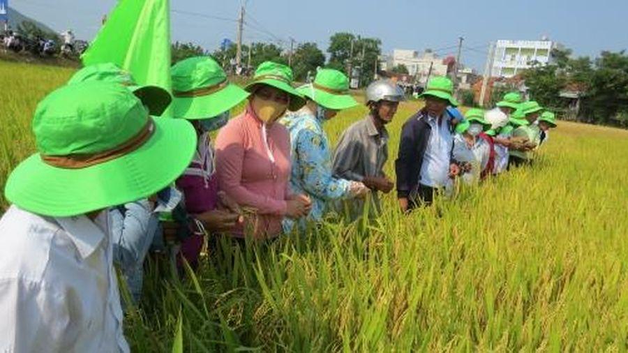Cánh đồng lúa chuyên canh lớn nhất Phú Yên