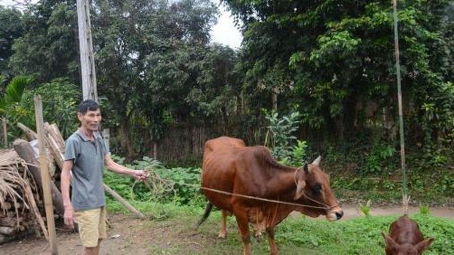 Nâng cao tầm vóc đàn trâu, bò
