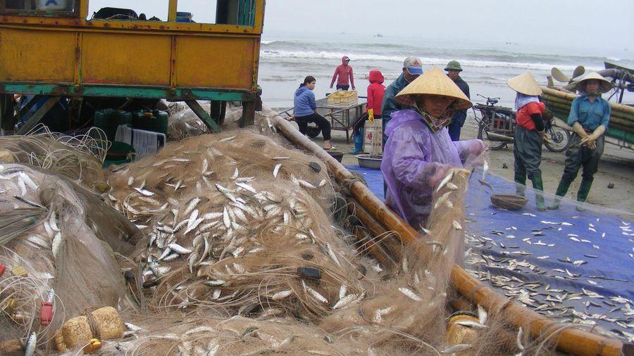 Thanh Hóa: Ngư dân trúng đậm cá trích