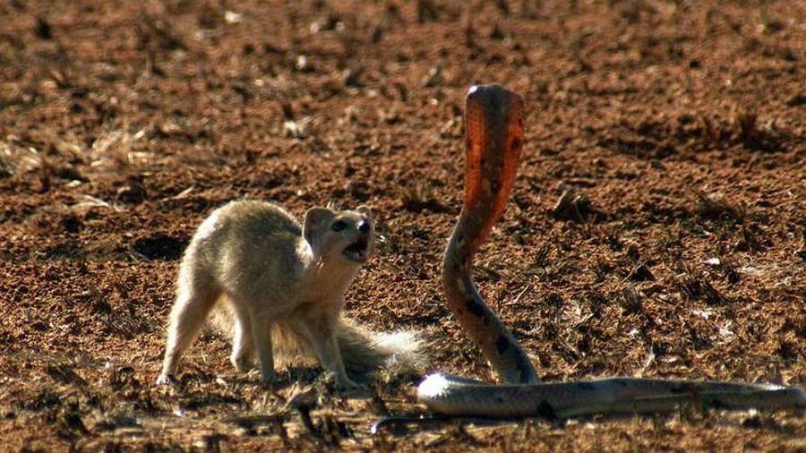 Cầy mangut giúp sóc đối phó với rắn hổ mang