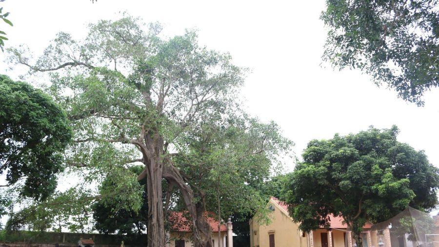 Chuyện về cây đa nở hoa gạo ở ngôi đền cổ ven sông Hồng