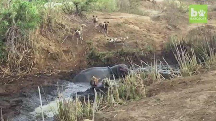 Giải cứu linh dương khỏi bầy chó hoang, hà mã bất ngờ ngoạm chết con mồi