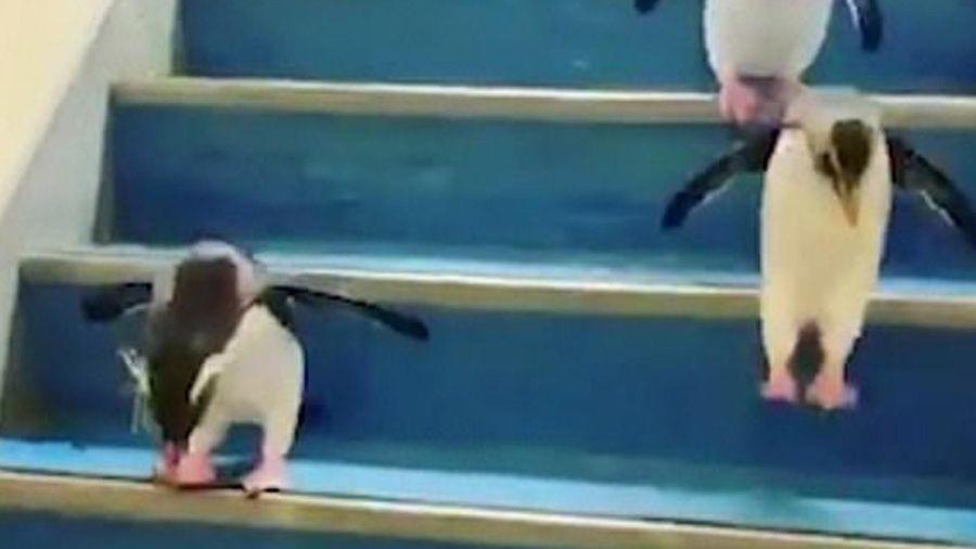 Đàn chim cánh cụt 'tinh nghịch' chơi trò nhảy bậc thang